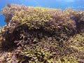 西表島・バラス東のサンゴとアカネハナゴイ♪ の動画、YouTube動画。