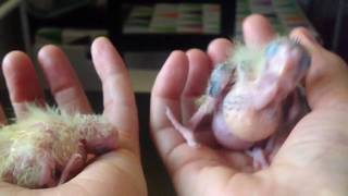 15/4 Птенцы попугаи кореллы. Обзор за месяц. Фотосессия. Сепия уничтожена. Уборка гнезда.