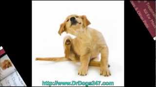 Ear Care For Golden Labs.mp4