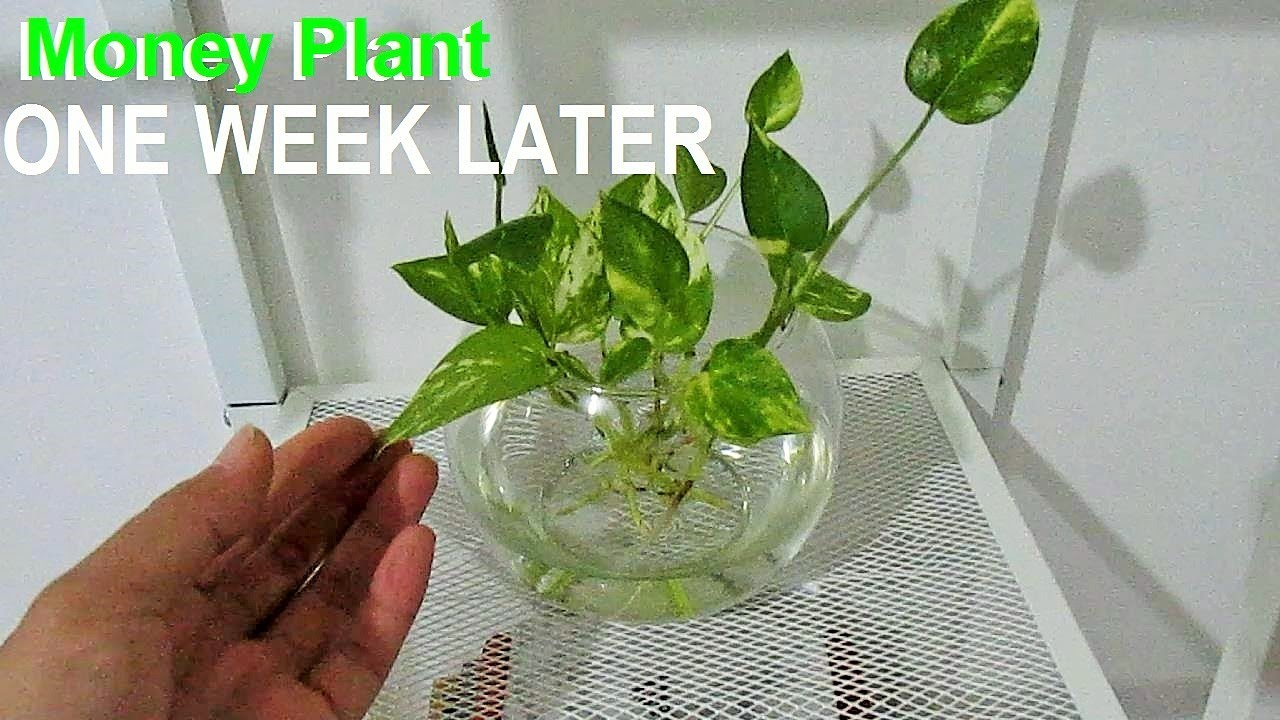 Money Plant Pothos After One Week Propagated On Water