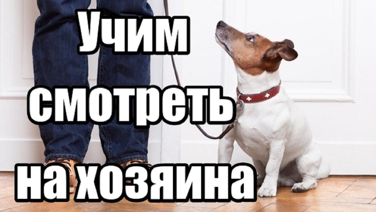 Учим собаку смотреть на хозяина. Как научить собаку выполнять команды.