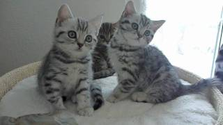 British shorthair Kittens classic-tabbys