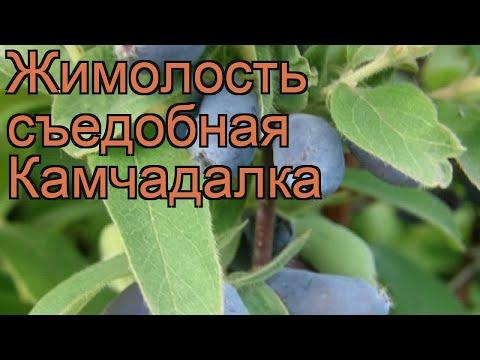 Жимолость съедобная Камчадалка (kamchadalka) 🌿 обзор: как сажать, саженцы жимолости Камчадалка