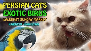Persian Cat for Sale | Lalukhet Sunday Birds Market Karachi | Video in Urdu/Hindi