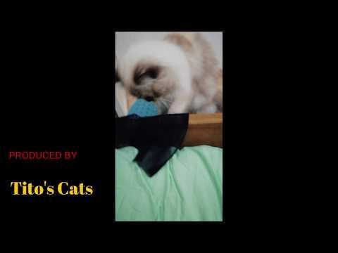 Funny Himalayan cat plays