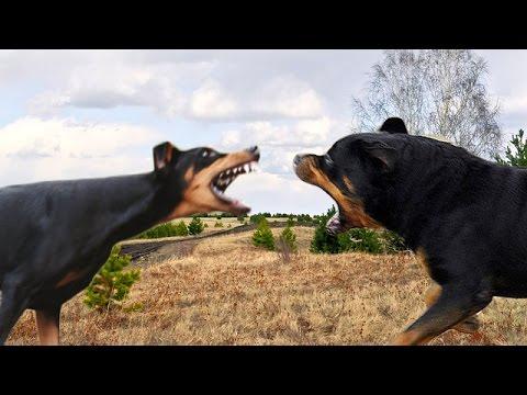 Dobermann und rottweiler