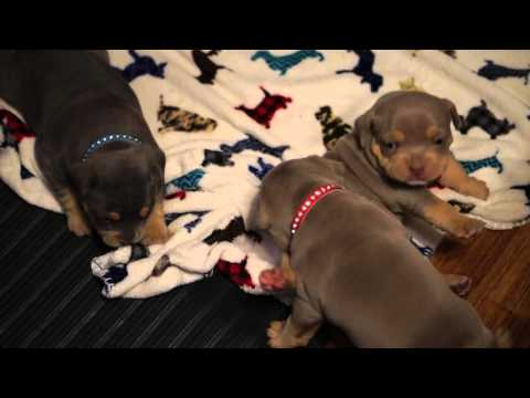 4 WEEK OLD AMERICAN BULLY PUPPY PLAYING AND POTTY TRAINING