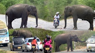 The wild Elephant who interferes with passing vehicles !