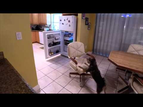 Amazing Dog Sam's Freshpet Fridge Break-In