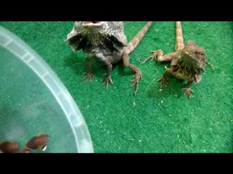 My Frilled Dragons