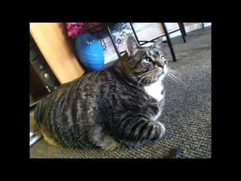 The curious case of the 38-pound cat
