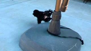 Arizona Poodle Rescue- Valentine Needs Your Help!