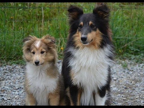 Shetland Sheepdog //Dog breed variety and details