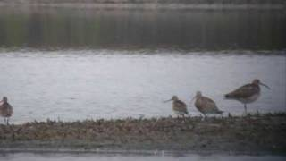 Barge rousse Limosa lapponica Bar tailed Godwit