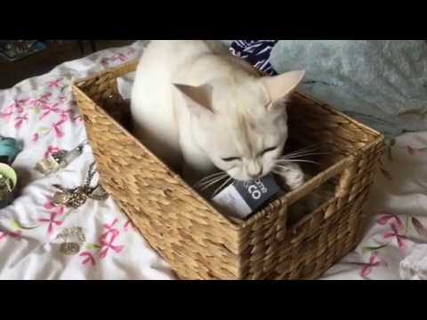 Burmilla cat playing compilation