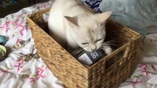 Burmilla cat playing compilation