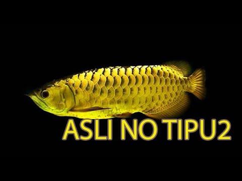 Membahas jenis-jenis penyakit pada ikan arwana with Calio ...