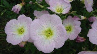 🍀🌻🌷 #Цветы Техаса  ✿  В поисках розовой энотеры