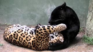 日本平動物園のジャガーのキコとアラシ。