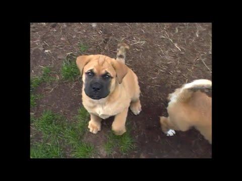 Bullmastiff husky/akita puppies