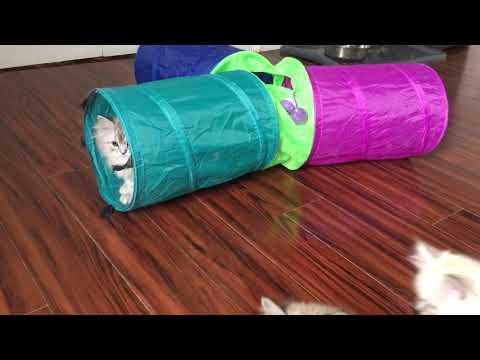 RagaMuffin Kittens-Shoot em up Gang 11.5wks-Imperial Rags