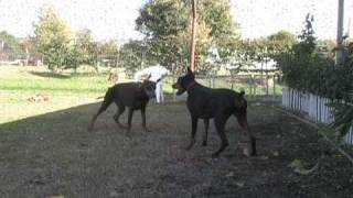 Doberman Puppies Playing Hard, Black Doberman Pinscher Puppy For Sale,  Female, Funny Dog Video