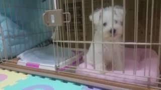 20160519 生後2ヶ月のミニチュアシュナウザー(ホワイト)の子犬です。 ...
