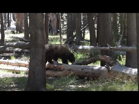 Bear Encounter John Muir Trail August 2018 Vidette Meadow