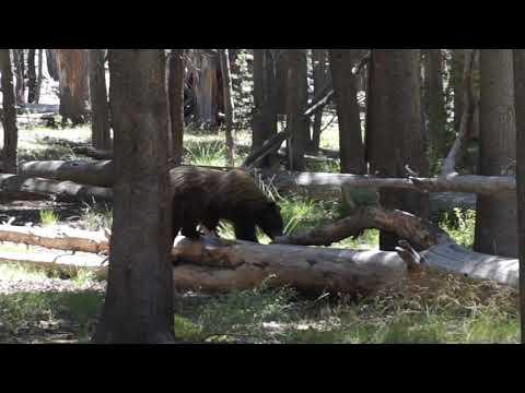 Bear Encounter John Muir Trail August 2018 Vidette Meadow