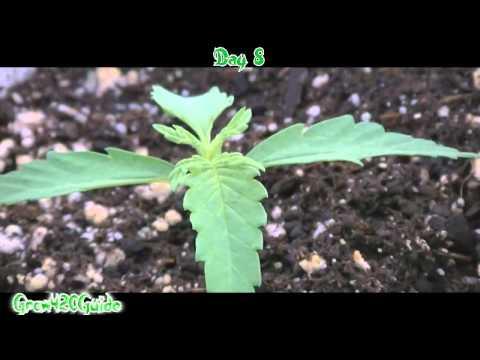 Medical Marijuana grow day 4-8 week 2