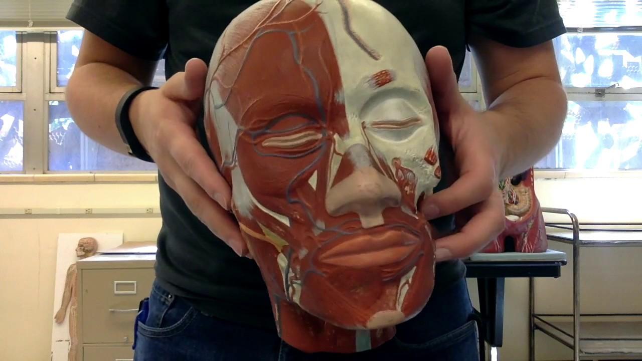 Anatomy Ii Episode 2 Arteries And Veins Of Head And Neck Teacher