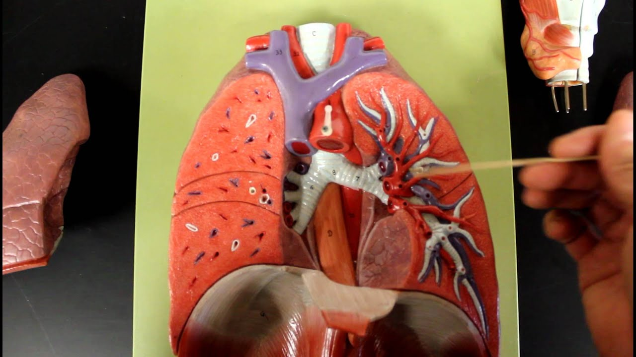 Respiratory System Anatomy  Larynx To Lung Model