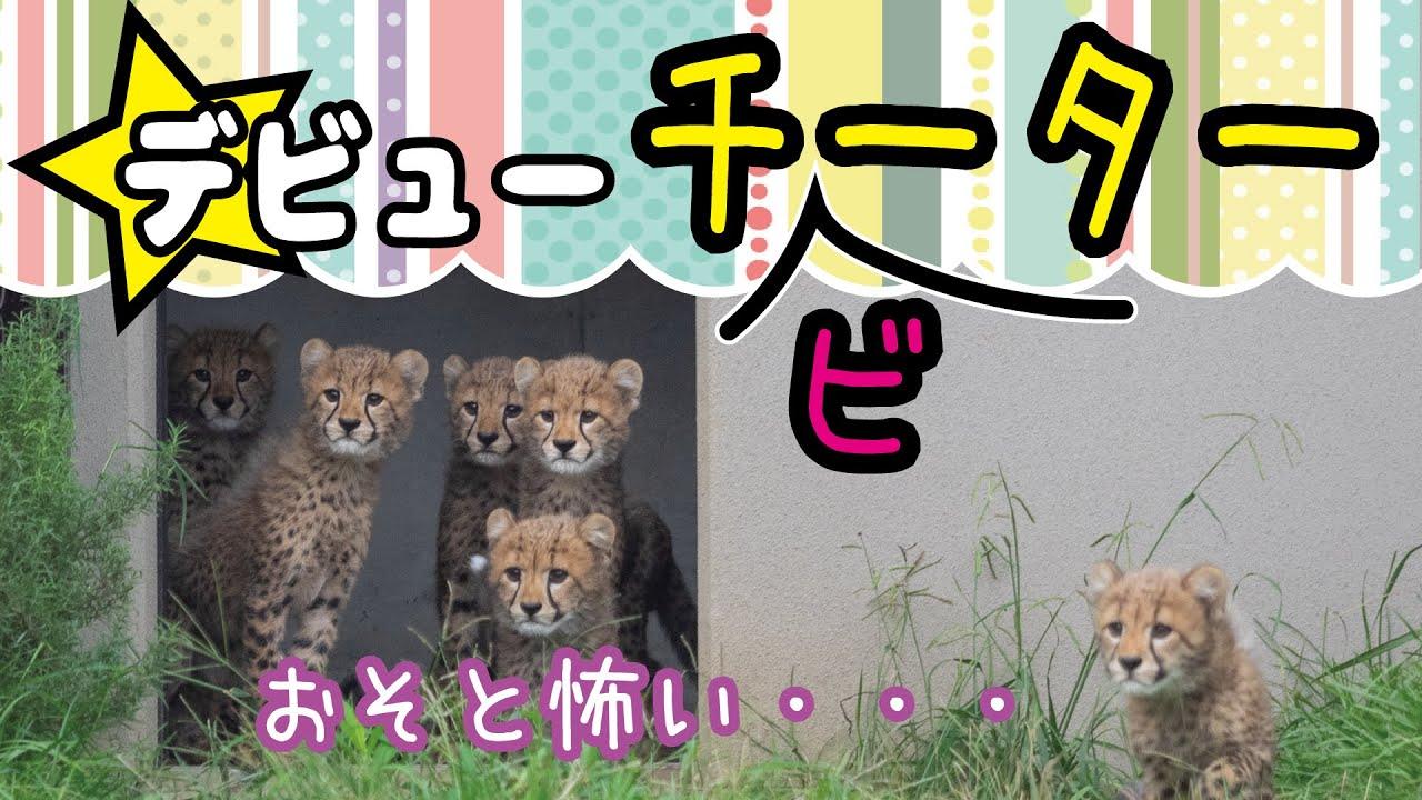 チーターの6つ子ちゃんが展示場デビュー【千葉市動物公園】