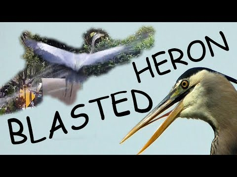 Heron Scared From Fish Pond FYV 1080 HD