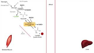Cori Cycle   Lactic Acid Metabolism   Purpose and Importance in Anaerobic Metabolism