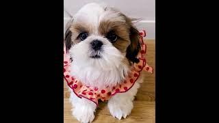 심장에 위험한 귀여운 시츄 강아지~ 얼굴보고 가세요! …