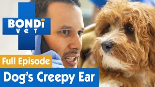 There's A Spider In This Dog's Ear! | FULL EPISODE | Bondi Vet