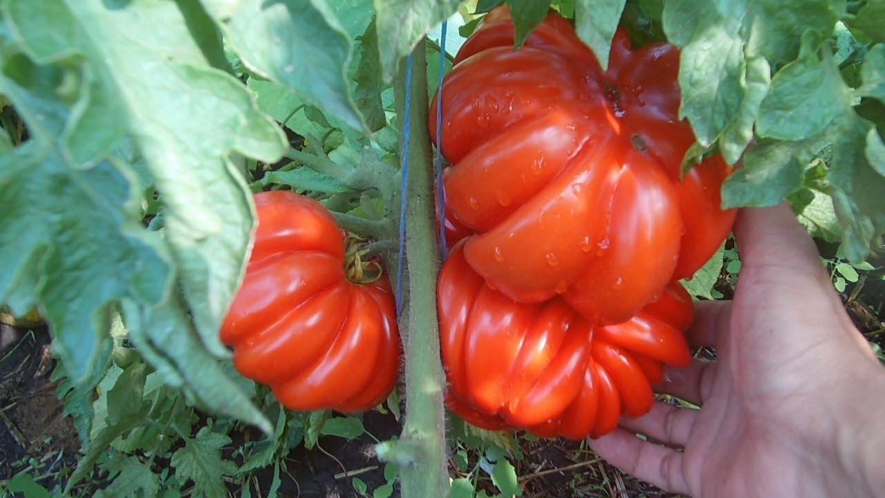 Выращивания томатов в открытом грунте / Рассада, пикировка, подкормки, формировка, уход за томатами