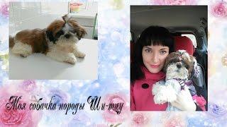 VLOG: Моя собачка породы Ши-тцу) Уход, питание и впечатление)
