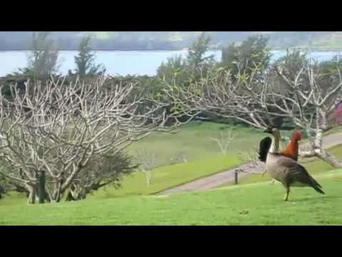 Nene (Hawaiian Goose) Defending Food From Rooster