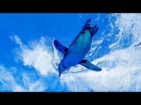 [4K空飛ぶペンギン] サンシャイン水族館「天空のペンギン」