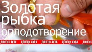 Золотая рыбка. исскуственное и естественное оплодотворение, How To Care For A Goldfish
