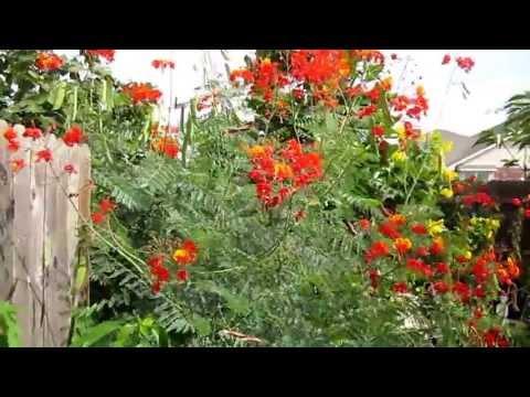"Pride Of Barbados, (Caesalpinia Pulcherrima) Lisa's Landscape & Design ""Plant Pick Of The Day"""