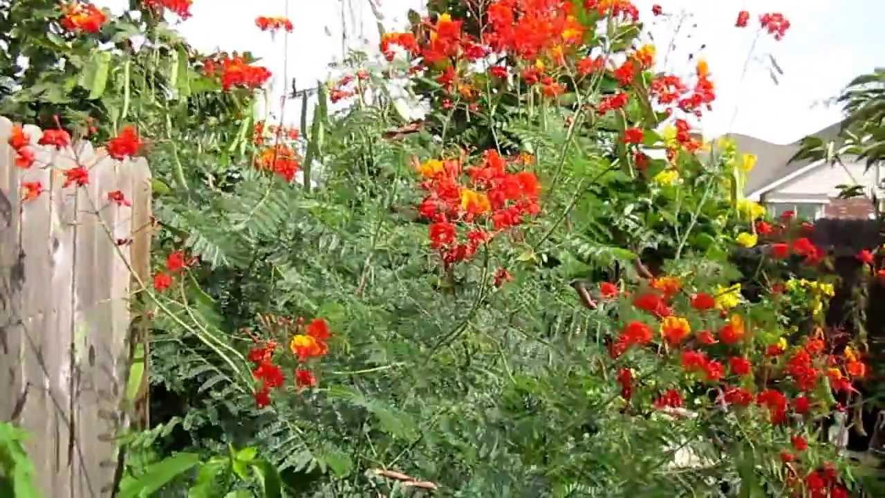 Pride Of Barbados Caesalpinia Pulcherrima Lisas Landscape