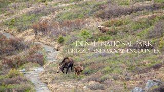 Grizzly stalking moose calves, Denali National Park, Alaska
