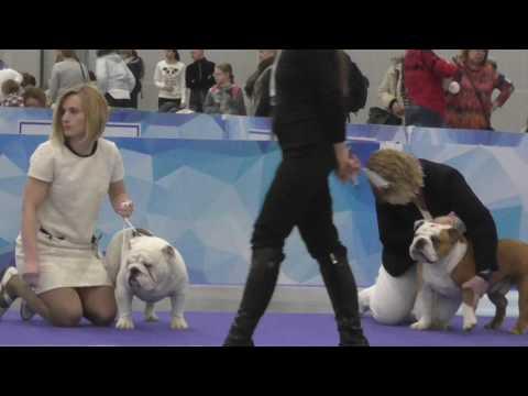 English Bulldog. ЕВРАЗИЯ 2017г. (день2).