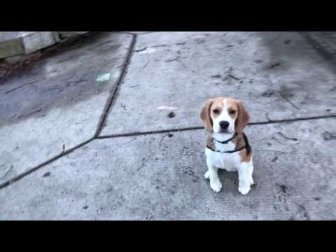 Beagle puppy is in love with this sausage