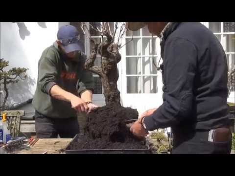 How to bonsai    -  A Grape Bonsai Tree Repotting