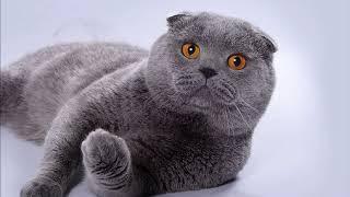Самая популярная кошка! Шотландская вислоухая кошка. Породы кошек!