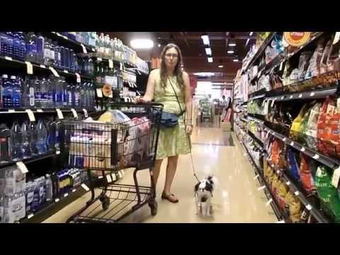 Japanese Chin Service dog in training carts